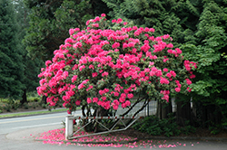 Anna Rose Whitney Rhododendron (Rhododendron 'Anna Rose Whitney') at Homestead Gardens