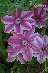 Carnaby Clematis (Clematis 'Carnaby') at Homestead Gardens