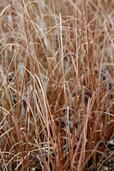 Red Rooster Sedge (Carex buchananii 'Red Rooster') at Homestead Gardens