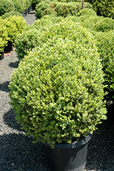 Green Mountain Boxwood (globe form) (Buxus 'Green Mountain (globe)') at Homestead Gardens