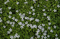 Blue Star Creeper (Isotoma fluviatilis) at Homestead Gardens