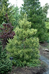 Gold Coin Scotch Pine (Pinus sylvestris 'Gold Coin') at Homestead Gardens