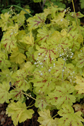 Solar Power Foamy Bells (Heucherella 'Solar Power') at Homestead Gardens