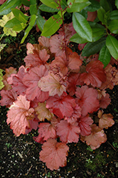 Galaxy Coral Bells (Heuchera 'Galaxy') at Homestead Gardens