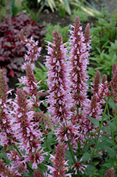 Cotton Candy Hyssop (Agastache 'Cotton Candy') at Homestead Gardens