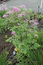 Black Stockings Meadow Rue (Thalictrum 'Black Stockings') at Homestead Gardens