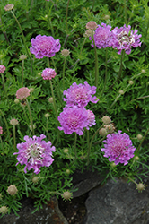 Vivid Violet Pincushion Flower (Scabiosa 'Vivid Violet') at Homestead Gardens