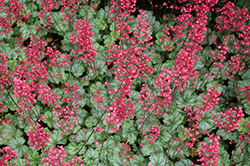 Paris Coral Bells (Heuchera 'Paris') at Homestead Gardens