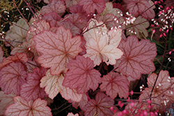 Georgia Peach Coral Bells (Heuchera 'Georgia Peach') at Homestead Gardens
