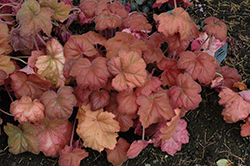 Southern Comfort Coral Bells (Heuchera 'Southern Comfort') at Homestead Gardens