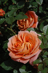 Amber Sunblaze® Rose (Rosa 'Meiludoca') at Homestead Gardens