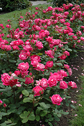 Double Knock Out® Rose (Rosa 'Radtko') at Homestead Gardens