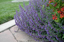 Six Hills Giant Catmint (Nepeta x faassenii 'Six Hills Giant') at Homestead Gardens