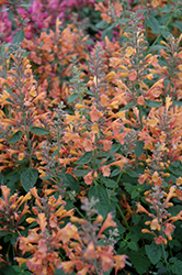 Acapulco Orange Mexican Hyssop (Agastache mexicana 'Acapulco Orange') at Homestead Gardens