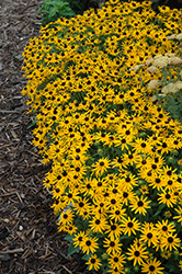 Little Goldstar Coneflower (Rudbeckia fulgida 'Little Goldstar') at Homestead Gardens