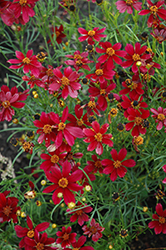 Red Satin Tickseed (Coreopsis 'Red Satin') at Homestead Gardens