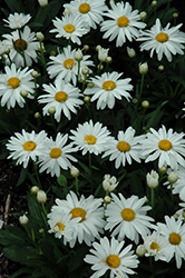 Whoops-A-Daisy Shasta Daisy (Leucanthemum x superbum 'Whoops-A-Daisy') at Homestead Gardens