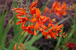 Bright Eyes Crocosmia (Crocosmia 'WALBREYES') at Homestead Gardens