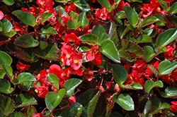 Big® Red Green Leaf Begonia (Begonia 'Big Red Green Leaf') at Homestead Gardens