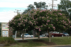 Choctaw Crapemyrtle (Lagerstroemia 'Choctaw') at Homestead Gardens