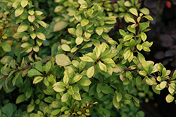 First Editions® Daybreak Japanese Barberry (Berberis thunbergii 'First Editions Daybreak') at Homestead Gardens