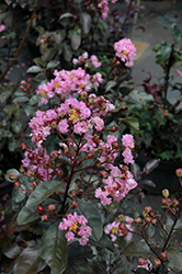 Rhapsody In Pink Crapemyrtle (Lagerstroemia indica 'Whit VIII') at Homestead Gardens