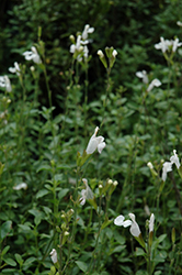 Heatwave™ Glimmer Sage (Salvia 'EGGBEN003') at Homestead Gardens