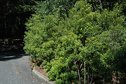 Southern Wax Myrtle (Myrica cerifera) at Homestead Gardens