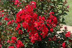 Dynamite Crapemyrtle (Lagerstroemia indica 'Whit II') at Homestead Gardens