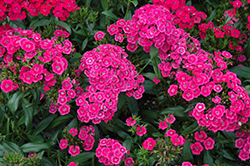 Jolt™ Pink Pinks (Dianthus 'Jolt Pink') at Homestead Gardens