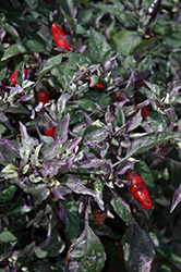 Calico Ornamental Pepper (Capsicum annuum 'Calico') at Homestead Gardens