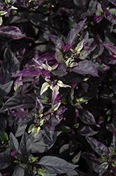 Purple Flash Ornamental Pepper (Capsicum annuum 'Purple Flash') at Homestead Gardens