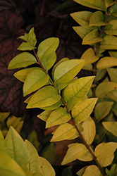 Golden Ticket® Privet (Ligustrum x vicaryi 'NCLX1') at Homestead Gardens