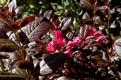 Minor Black Weigela (Weigela florida 'Minor Black') at Homestead Gardens