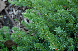 Emerald Sea Shore Juniper (Juniperus conferta 'Emerald Sea') at Homestead Gardens