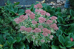 Autumn Charm Stonecrop (Sedum 'Autumn Charm') at Homestead Gardens