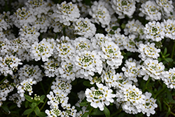 Snowflake Candytuft (Iberis sempervirens 'Snowflake') at Homestead Gardens