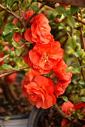 Double Take Orange™ Flowering Quince (Chaenomeles speciosa 'Double Take Orange Storm') at Homestead Gardens