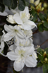 Delaware Valley White Azalea (Rhododendron 'Delaware Valley White') at Homestead Gardens