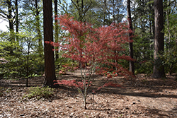 Hubb's Red Willow Japanese Maple (Acer palmatum 'Hubb's Red Willow') at Homestead Gardens