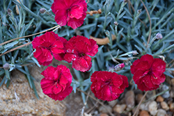 Frosty Fire Pinks (Dianthus 'Frosty Fire') at Homestead Gardens