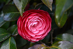 Jacks Camellia (Camellia japonica 'Jacks') at Homestead Gardens