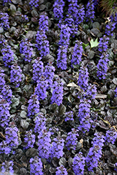 Black Scallop Bugleweed (Ajuga reptans 'Black Scallop') at Homestead Gardens