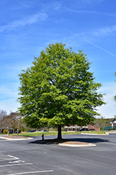 Willow Oak (Quercus phellos) at Homestead Gardens