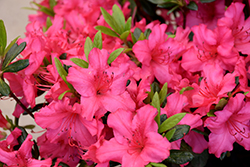Girard's Rose Azalea (Rhododendron 'Girard's Rose') at Homestead Gardens