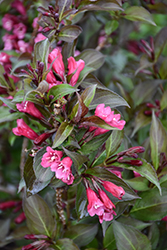 Shining Sensation™ Weigela (Weigela florida 'Bokrashine') at Homestead Gardens