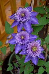 Multi Blue Clematis (Clematis 'Multi Blue') at Homestead Gardens