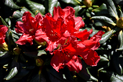 Baden Baden Rhododendron (Rhododendron 'Baden Baden') at Homestead Gardens