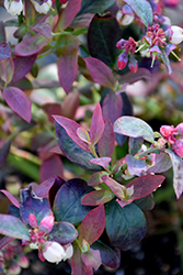 Pink Icing® Blueberry (Vaccinium 'ZF06-079') at Homestead Gardens