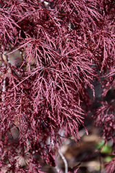 Red Filigree Lace Japanese Maple (Acer palmatum 'Red Filigree Lace') at Homestead Gardens